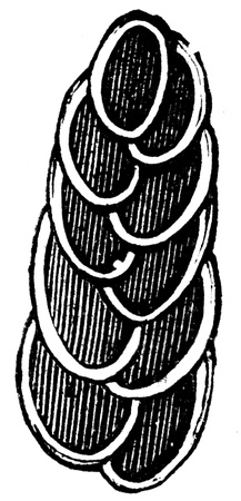 publishers: rhizopods Textularia aviculata - an illustration to article  Cretaceous of the encyclopedia publishers Education, St  Petersburg, Russian Empire, 1896