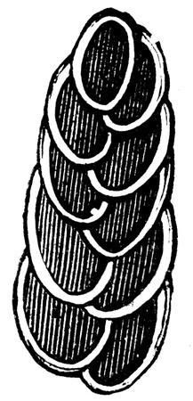 rizópodos aviculata Textularia - una ilustración con el artículo Cretácico de la Educación enciclopedia de los editores, San Petersburgo, Rusia, Imperio, 1896 Foto de archivo - 14520626