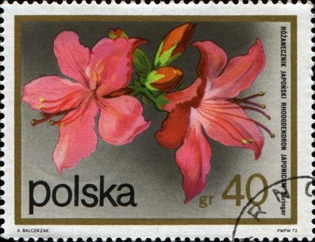 POLAND - CIRCA 1972  A stamp printed in Republic of Poland shows Azalea - Rhododendron Japonica, circa 1972 photo