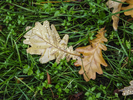 sickly: Natural brown autumn dry fallen oak leaf with raindrops in autumn withering green grass Stock Photo