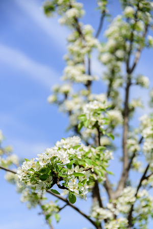 Branch of a blossoming pear tree.