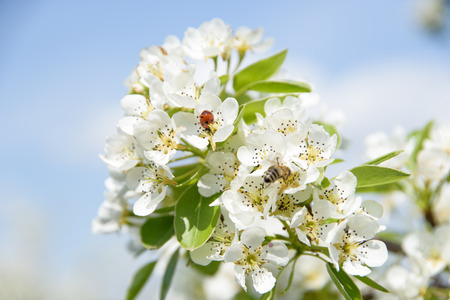 Ladybird and honey bee sharing pear flower and collecting nectar. Stockfoto