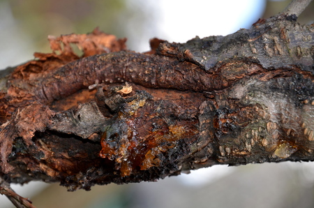 The resin is released from the thick branch of a peach tree.