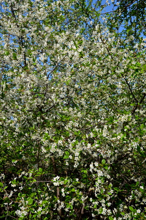 Densely located inflorescence of cherry blossom blossoms.