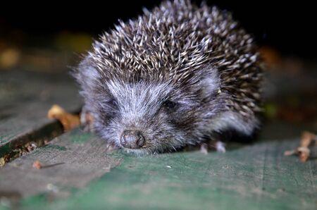 Baby hedgehog shot close up.