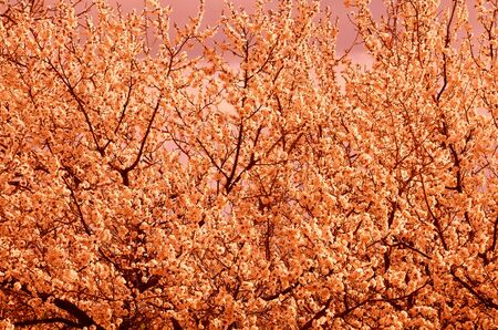 Natural background consists of a densely blossoming tree with corrected chromaticity.