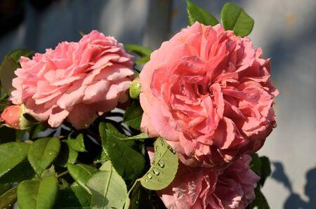 Flowers rose pale pink color closeup. Zdjęcie Seryjne