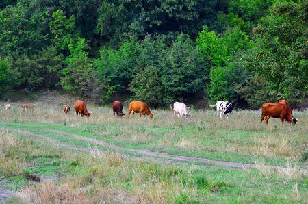A herd of cows graze in the meadow.