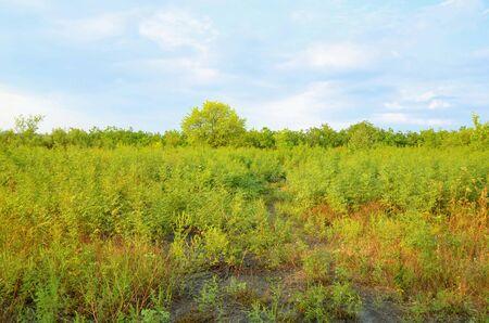 Glade consists of low bushes against a blue cloudy sky. Zdjęcie Seryjne