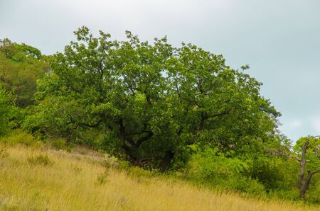 A large oak tree grows on the side of a mountain.