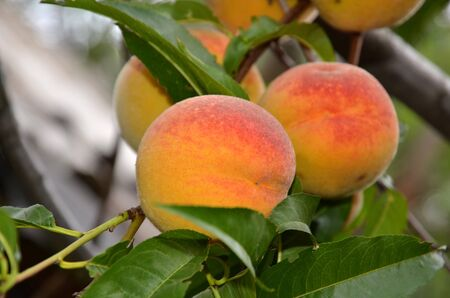 Ripe juicy peaches are hanging on a tree.