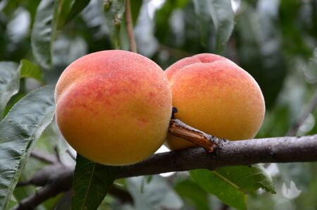 Two ripe red-orange peaches on a branch shot closeup.