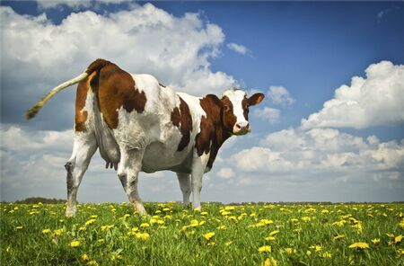 Brown and white cow grazing at a beautiful meadow on a green grass with flower, under blue sky with clouds. Domestic animals at summer green field. Cow, copy space