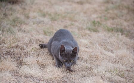 Beautiful gray cat with golden eyes, hunting mouse in the wild. Cat playing with a mouse caught Stock Photo