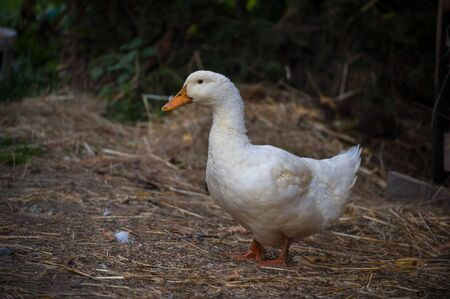 Portrait of beautiful heavy white duck. Duck stands on the ground with blurred background. Domestic animal Stok Fotoğraf