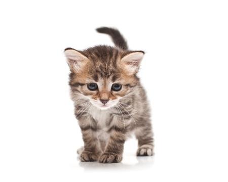 siberian kitten on white background photo