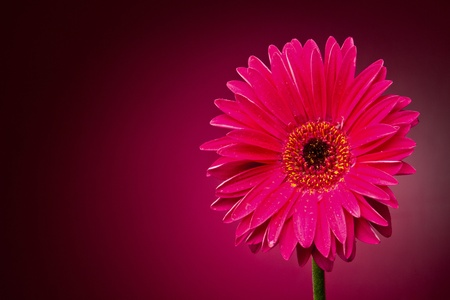 gerber: Gerber flower on a red gradient