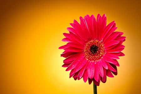 Gerber flower on a yellow gradient Stock Photo - 10693272