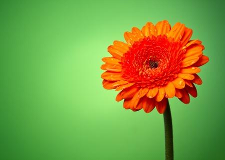 Gerber flower on a green gradient photo