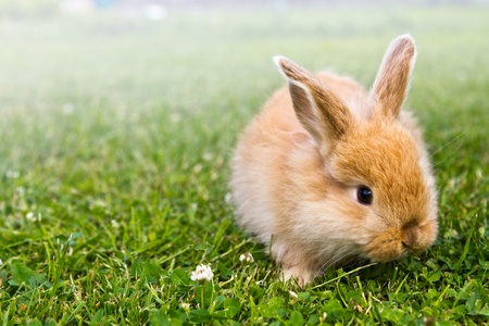 Baby gold rabbit in grass Stock Photo