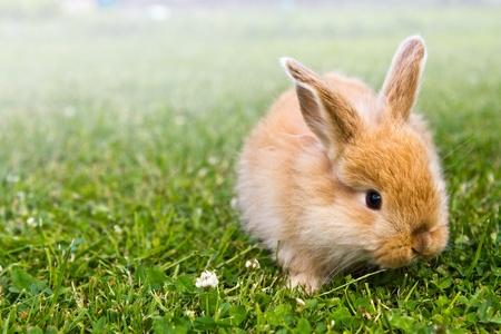 lapin blanc: Lapin d'or bébé dans l'herbe