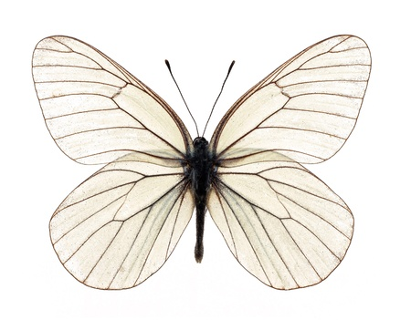 White butterfly on white background