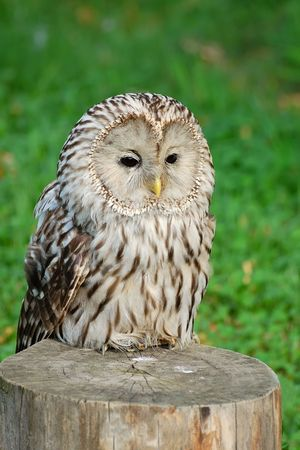 Lazy owl photo