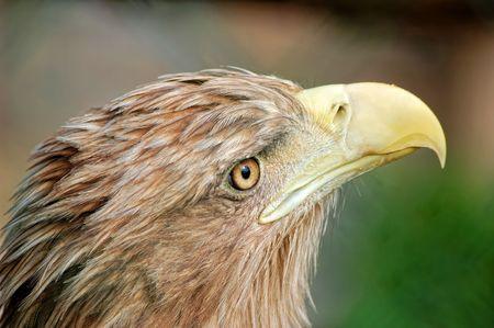Portrait of eagle