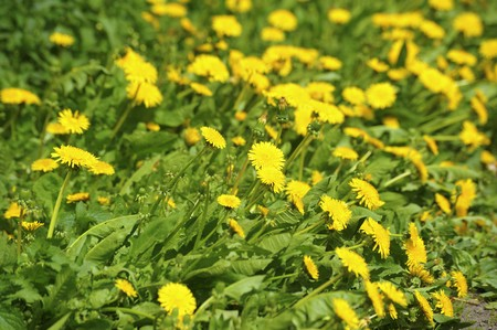 Many yellow dandelions in grass photo
