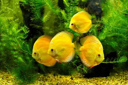 Yellow fishes Stock Photo - 7041346