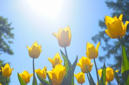 Many yellow tulips photo