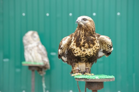 chrysaetos: Golden eagle (Aquila chrysaetos) with owl on background