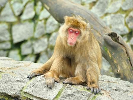 Sleeping monkey photo