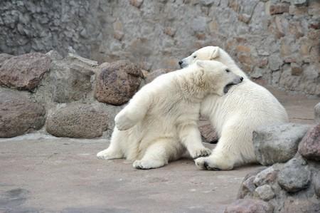 pelage: Two little white polar bears fighting