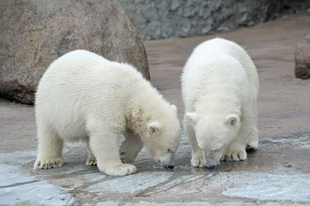 furskin: Two little polar bears drink from a pool