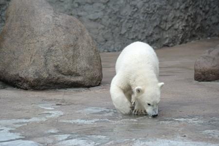snuff: Poco de blanco oso polar de rap�  Foto de archivo