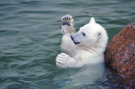 polar: Little white polar bear hands up in water Stock Photo