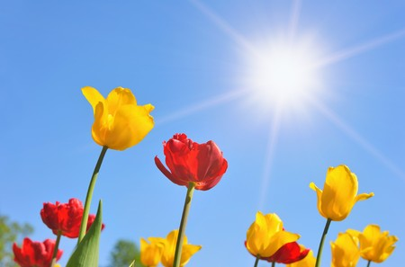 Tulips in the sunny day photo