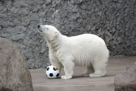 Little white polar bear with soccer ball photo