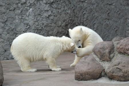 furskin: Two little white polar bears play