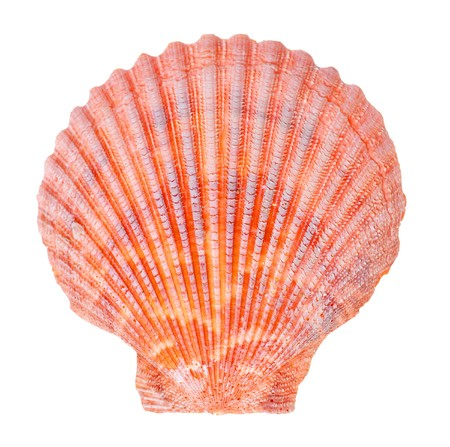 scallop shell: Sea shell isolated on white background