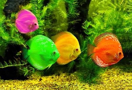 peces de acuario: Coloridos peces en el agua  Foto de archivo