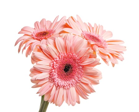 Bunch of gerbera isolated on white background photo