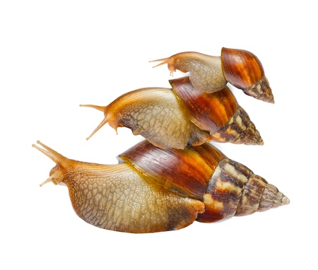 Snail family isolated on white background photo