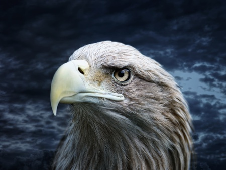 Eagle in the wild nature photo