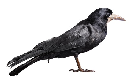 Black crow isolated on white backround