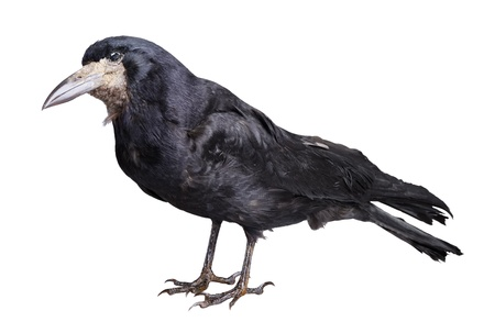 crows: Black crow isolated on white backround
