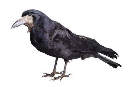 corvus: Cuervo negro aislado en blanco backround Foto de archivo