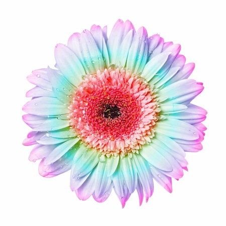 gerber: Beautiful colourful gerbera with dew  isolated on white background