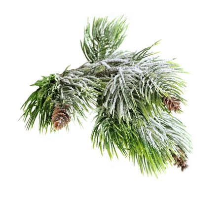 Christmas evergreen spruce tree with fresh snow isolated on white